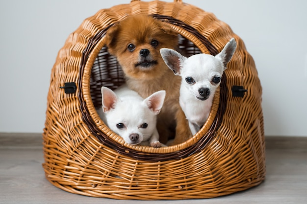 Two white chihuahua puppies with pomeranian dog sharing one doghouse