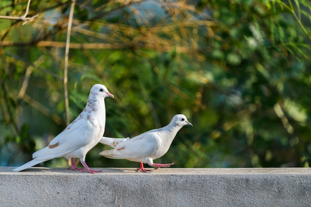 Two white dove walking on wall