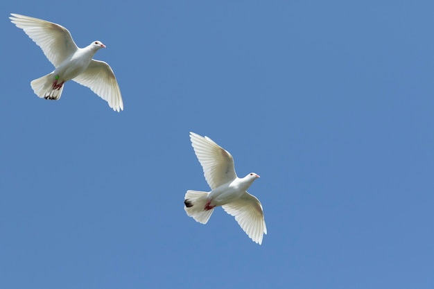 Two white feather homing pigeon flying against clear blue sky