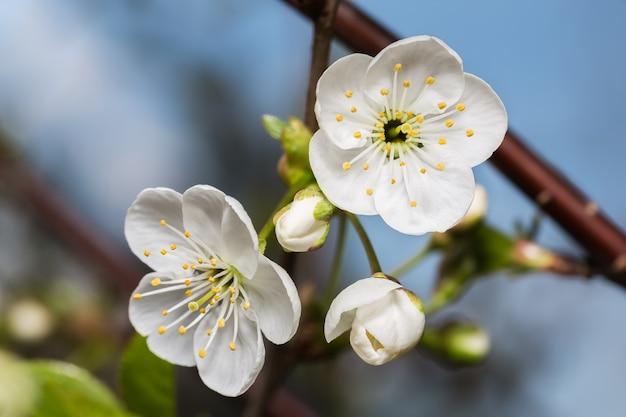 푸른 하늘 배경에 두 개의 흰 꽃과 새싹 벚꽃 근접 촬영