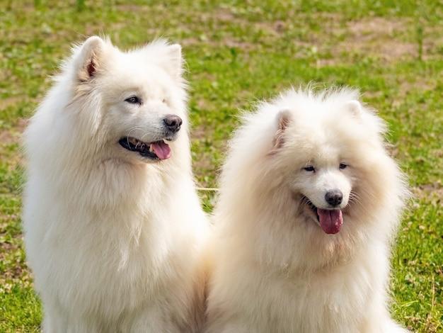 2つの白いふわふわの犬種サモエドがクローズアップ
