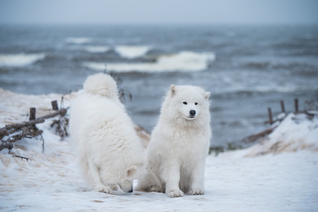 두 개의 흰색 솜털 사모예드 개가 라트비아의 눈 카르 니 코바 발트해 해변에 있습니다.