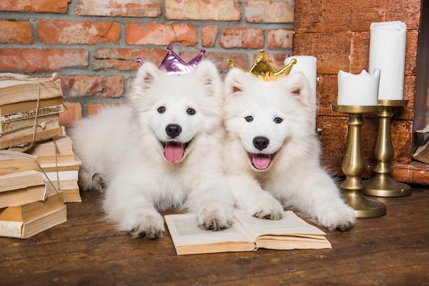 Два белых пушистых самоеда щенки с книгой