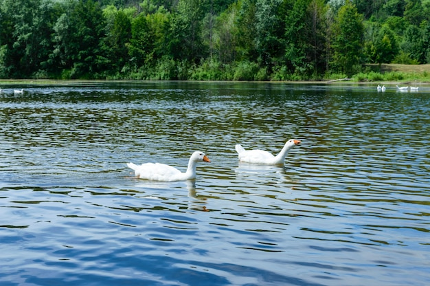 Two white geese swimming on the water. beautiful view of the river and forest.