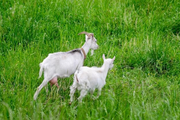 芝生の上のフィールドに2頭の白いヤギ。高品質の写真