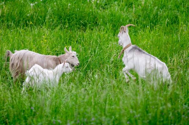 芝生の上のフィールドで子供と2つの白いヤギ。高品質の写真