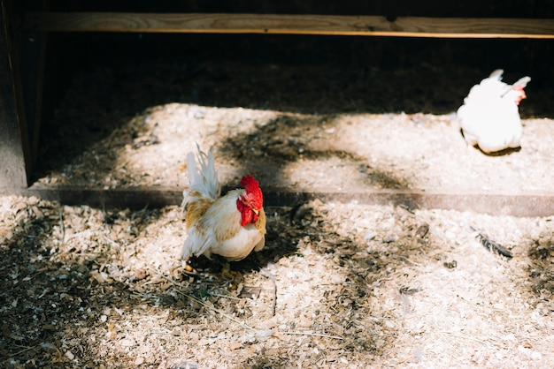 Two white hens in the barn