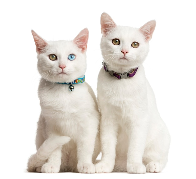 Two white kittens siting in front of a white wall