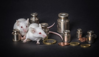 Two white laboratory mice with weights and coins on a gray background. concept of economic