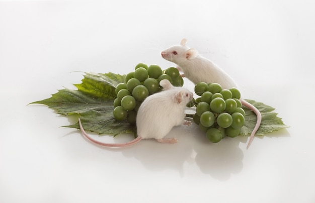 Two white mice with bunches of green grapes on a white background