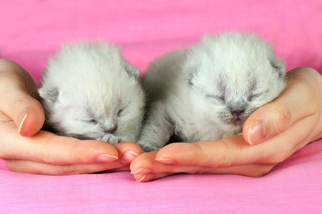 女性の手で2匹の白い新生子猫