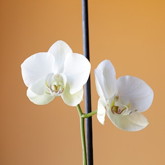 Two white orchids on a yellow background