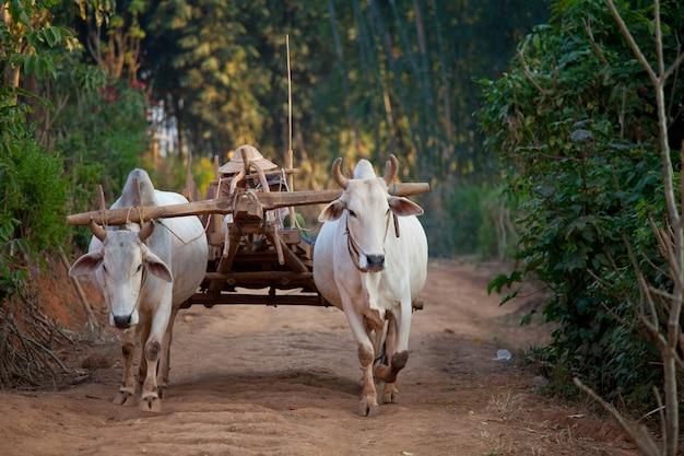 ミャンマーの村で木製カートを引っ張る2つの白い牛