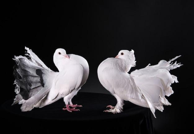 Два белых голубя, изолированные на черном