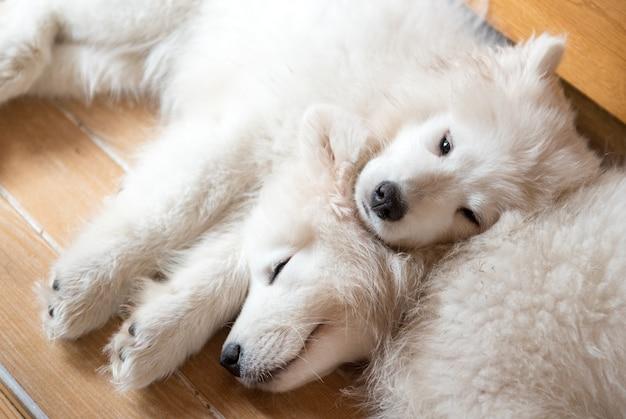 Два белых щенка самоеда лежат на полу