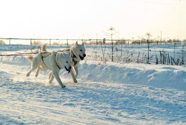 晴れた冬の日にそりを引く青い目を持つ2つの白いシベリアンハスキー