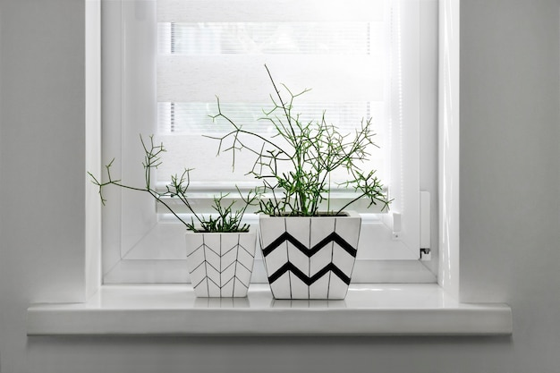 Two white square flower pots with geometric patterns with rhipsalis plants planted in them stand on windowsill with roller blind