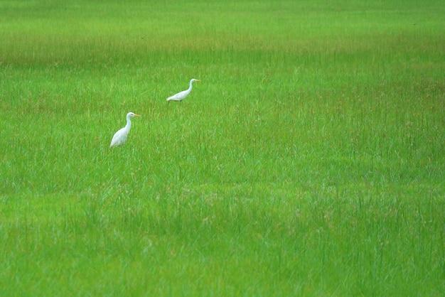 Two white storks walking on green field.