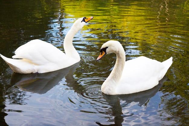 2つの白い白鳥が湖で泳いでいます。これは愛です。永遠の愛と忠誠の概念。白鳥の家族