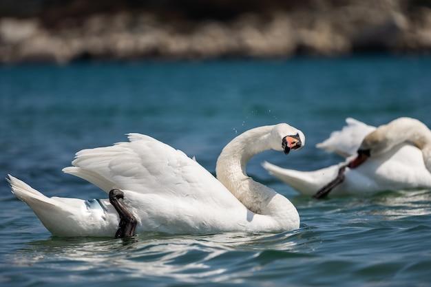 2つの白い白鳥がクローズアップ。池の上のロマンチックな白鳥のカップル。白鳥は湖で泳ぎ、羽をきれいにします。
