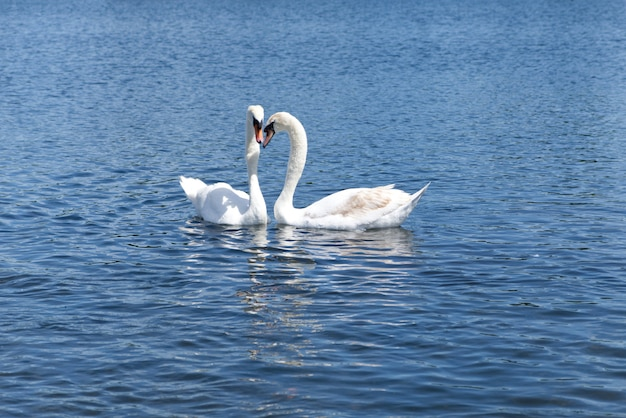 Two white swans floating on the lake. beautiful moment when they put their head next to each others