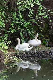 호숫가에 두 개의 하얀 백조입니다. 물에 반사입니다. 결혼한 백조 한 쌍.