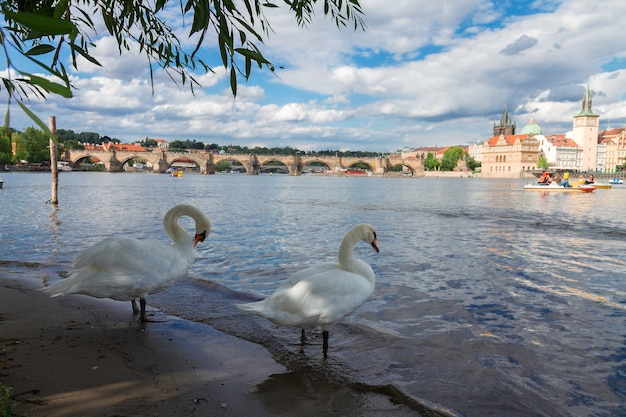 Два белых лебедя на фоне карлова моста через реку влтава, прага, чехия