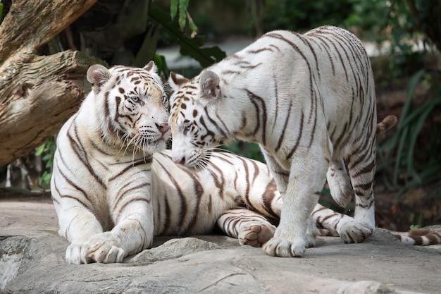 Два белых тигра в джунглях.