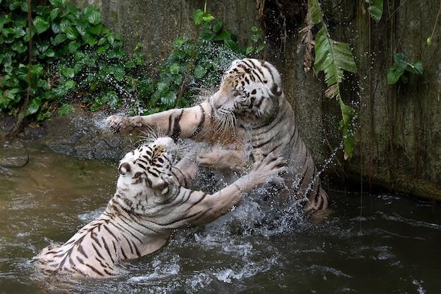 두 마리의 백호가 물 속에서 고군분투하고 있었습니다.