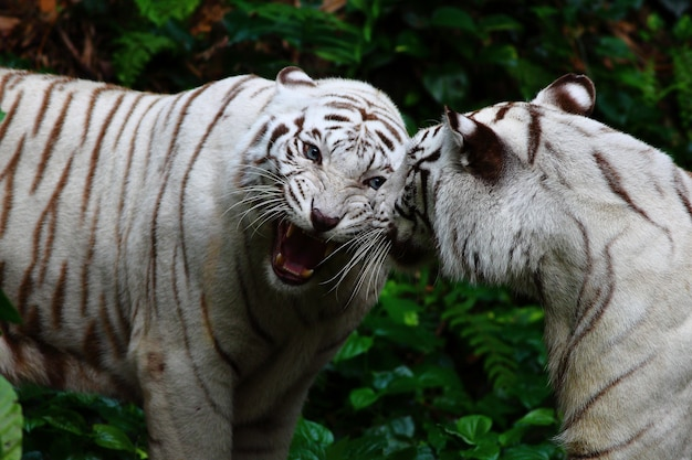 Two white tigers roaring in the jungle
