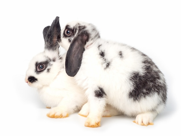 Two white young rabbit acting like whispering on white