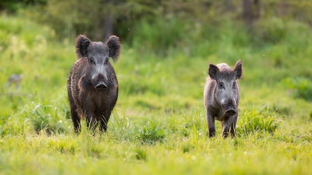 Два кабана, sus scrofa, приближаясь к поляне в весенней природе.