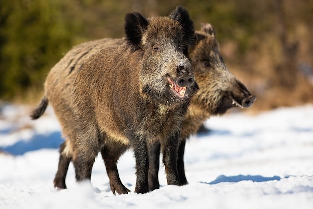 冬の日当たりの良い自然の牧草地に立っている2匹のイノシシ、susscrofa。日光で雪原を食べている茶色の哺乳類のペア。毛むくじゃらの動物が雪の上を噛んで見回しています。
