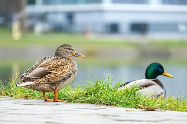 Две дикие утки гуляют в летнем парке.