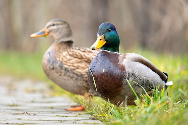Two wild ducks walking in summer park.