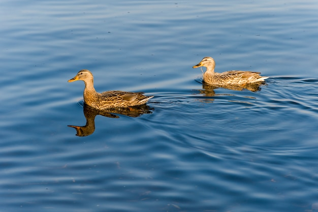 Two wild ducks in the water