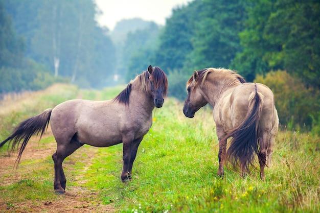 森の空き地にいる2頭の野生の馬。ラトビアのパペ自然公園