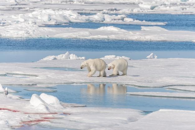 Два диких белых медведя идут на паковый лед к северу от острова шпицберген, шпицберген