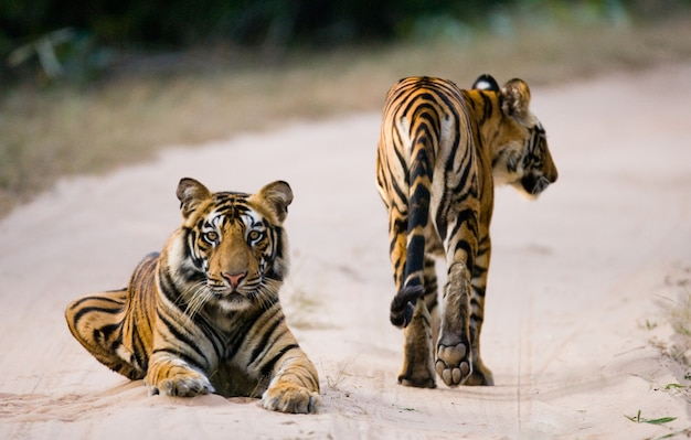 도로에 두 야생 호랑이입니다. 인도.