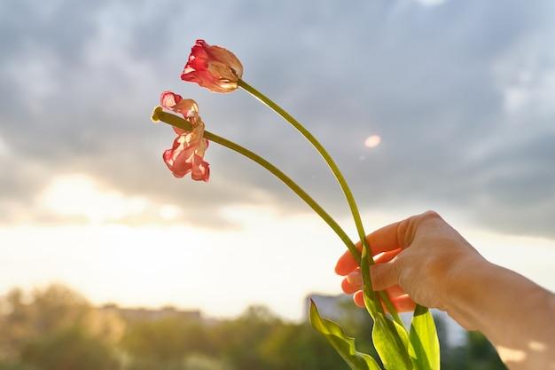 手に女性のチューリップの2つの枯れた花