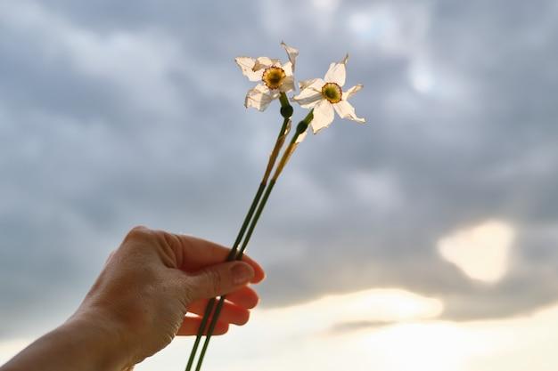 手に女性の白い水仙の2つの枯れた花