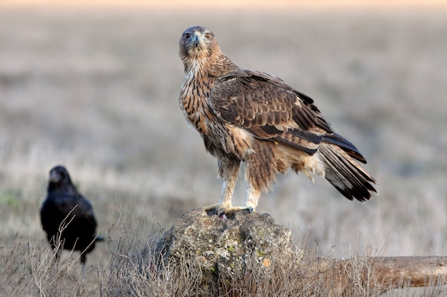 Two years old female of bonelli's eagle
