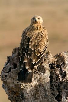 Два года испанского имперского орла. акила адальберти