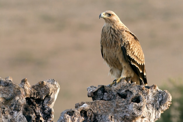 Two years old spanish imperial eagle. aquila adalberti