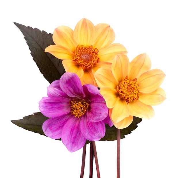 白で隔離される葉を持つ2つの黄色と1つの紫色のダリアの花