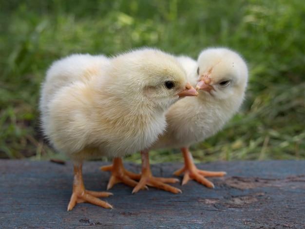 農場で2つの黄色の鶏。