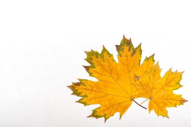 Два желтых сухих кленовых листа на белом фоне желтые листья символ осени сентября октября