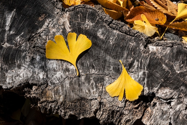 Two yellow leaves harmoniously composed of ginkgo biloba arranged on a textured trunk