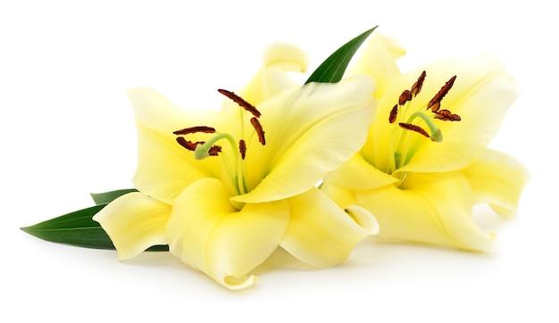 두 개의 노란색 백합 흰색 배경에 고립입니다.