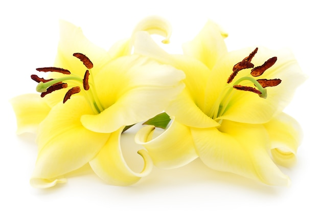 白い背景に分離された2つの黄色いユリ。